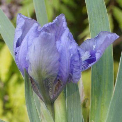 Iris Barbata Nana 'Pepita' – Nőszirom- florapont online növényrendelés