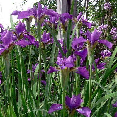 iris-sibirica-ewen-sziberiai-noszirom