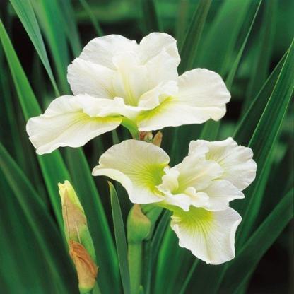 iris-sibirica-harpswell-happiness-sziberiai-noszirom
