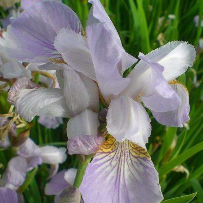 iris-sibirica-mrs-rowe-sziberiai-noszirom