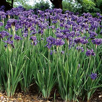 iris-sibirica-ruffled-velvet-sziberiai-noszirom virágcsoport