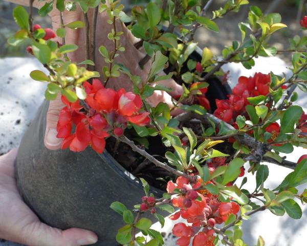 konténeres dísznövény ültetése 4