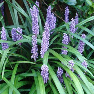 liriope muscari virág gyönygyikés gyepliliom