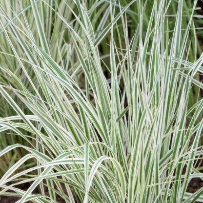 Calamagrostis x acutiflora 'Overdam' hibrid nádtippan