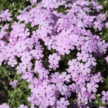phlox-douglasii-lilac-cloud-tope-langvirag