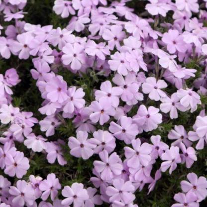 phlox-douglasii-lilac-cloud-tope-langvirag florapont