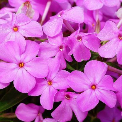 phlox-forever-pink-langvirag