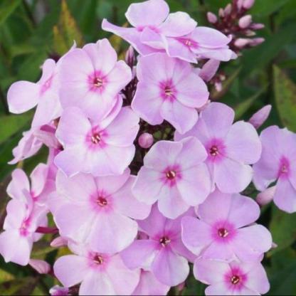phlox-paniculata-sweet-summer-favourite-bugas-langvirag