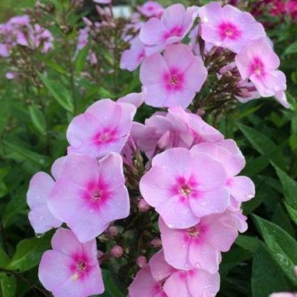 phlox-paniculata-sweet-summer-favourite-bugas-langvirag virágja
