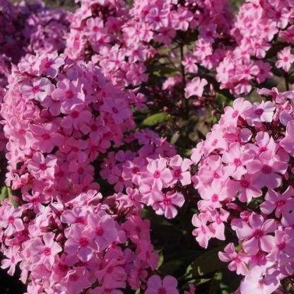 phlox-paniculata-sweet-summer-melody-bugas-langvirag