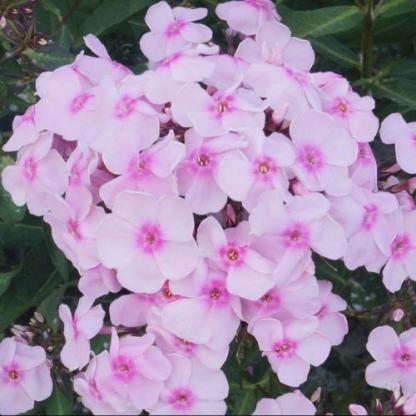 phlox-paniculata-sweet-summer-sensation-bugas-langvirag