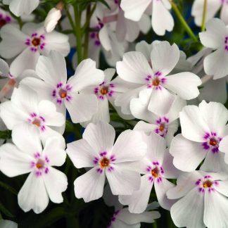 phlox-subulata-amazing-grace-arlevelu-langvirag