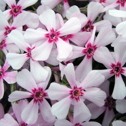 phlox-subulata-apple-blossom-arlevelu-langvirag