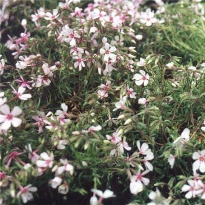 phlox-subulata-apple-blossom-arlevelu-langvirag szőnyeg