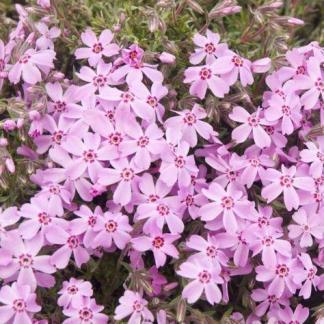 phlox-subulata-bonita-arlevelu-langvirag