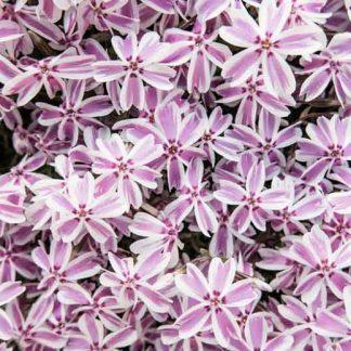 phlox-subulata-candy-stripes-arlevelu-langvirag