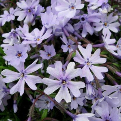 phlox-subulata-early-spring-blue-arlevelu-langvirag