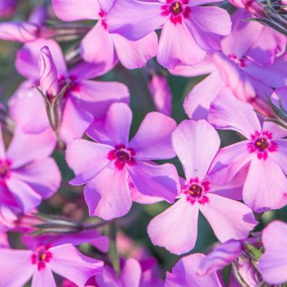 phlox-subulata-early-spring-dark-pink-arlevelu-langvirag