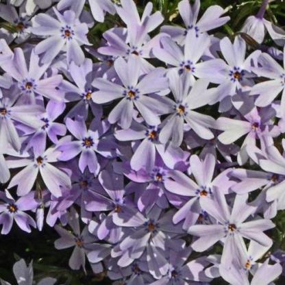 phlox-subulata-early-spring-lavender-arlevelu-langvirag