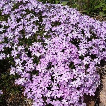 phlox-subulata-early-spring-lavender-arlevelu-langvirag sziklakertben