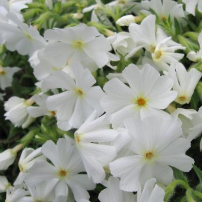 phlox-subulata-early-spring-white-arlevelu-langvirag