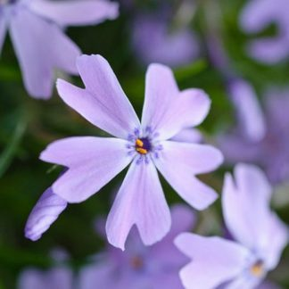 phlox-subulata-emerald-cushion-blue-arlevelu-langvirag
