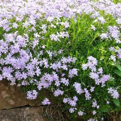 phlox-subulata-emerald-cushion-blue-arlevelu-langvirag szőnyeg