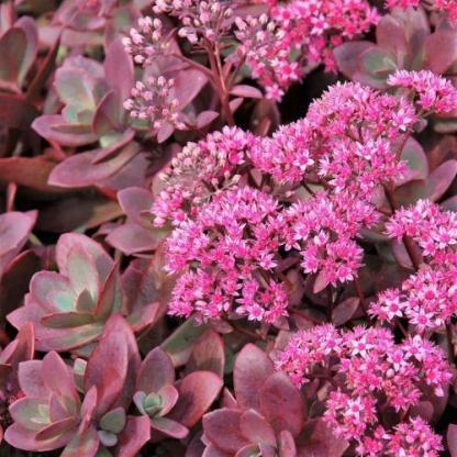 Sedum 'Sunsparkler Firecracker' - varjúháj 1 A <strong>Sedum 'Sunsparkler Firecracker' - varjúháj</strong> igen népszerű, rendkívül ellenálló, igénytelen pozsgás növény. Cseresznyepiros lombozata van, rózsaszín virága augusztustól októberig nyílik. <ul> <li><em>Kiszerelés: 14 cm-es ültetőedényben</em></li> </ul> <em></em>