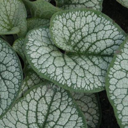 Brunnera-macrophhylla-sea-heart-kaukazusi-nefelejcs2