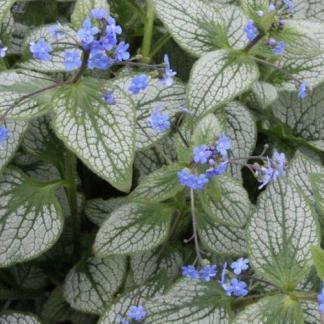 Brunnera-macrophhylla-silver-heart-kaukazusi-nefelejcs