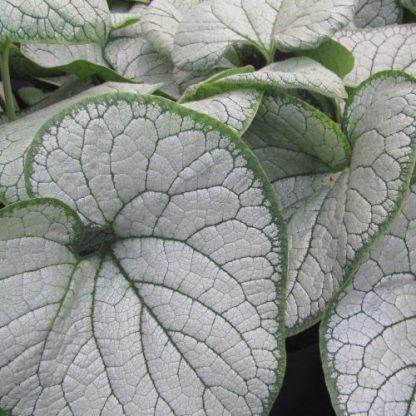Brunnera-macrophhylla-silver-heart-kaukazusi-nefelejcs levél
