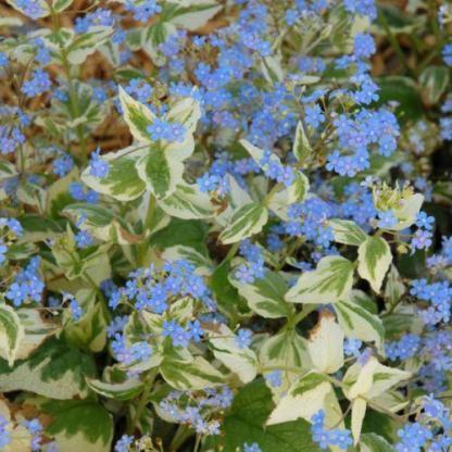 Brunnera-macrophhylla-variegata-kaukazusi-nefelejcs1