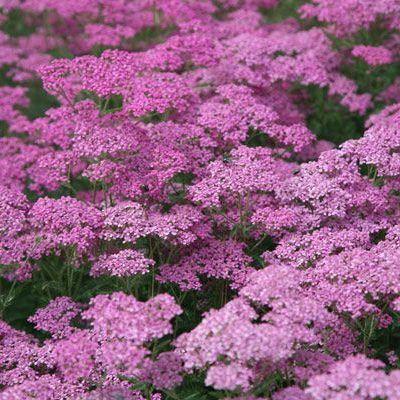 achillea-millefolium-lilac-beauty-cickafark