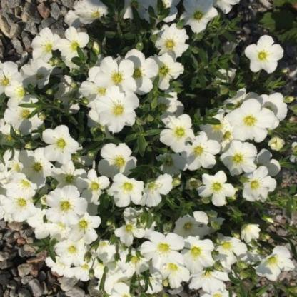 arenaria-montana-blizzard-compact-hegyi-homokhur