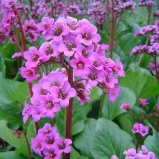 bergenia-cordifolia-rotblum-szívlevelu-borlevel