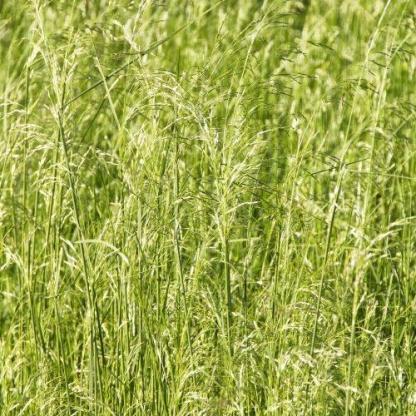 dechsamsia-caespitosa-schottland