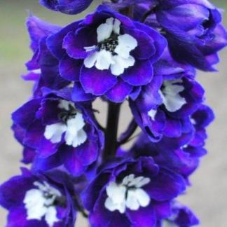 delphinium-cultorum-excalibur-dark-blue-with-white-bee-szarkalab