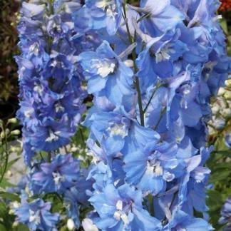 delphinium-cultorum-excalibur-light-blue-with-white-bee-szarkalab