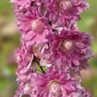 delphinium-cultorum-excalibur-lilac-rose-with-white-bee-szarkalab