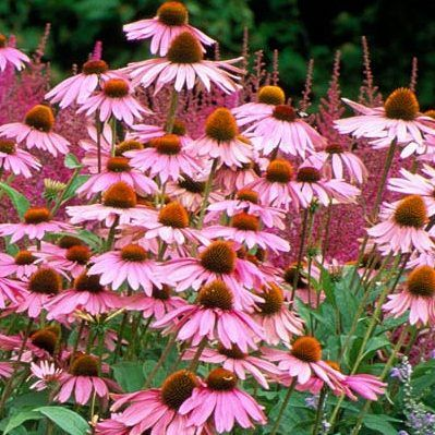 echinacea-purpurea-magnum-bibor-kasvirag