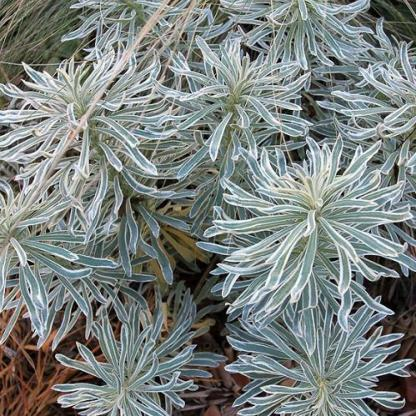euphorbia-characias-glacier-blue-suruleveleu-kutyatej