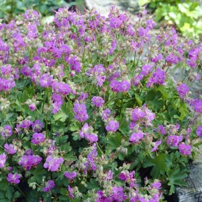 geranium-cantabrigiense-cambridge-golyaorr