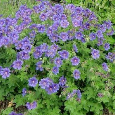 geranium-himalayense-baby-blue-golyaorr