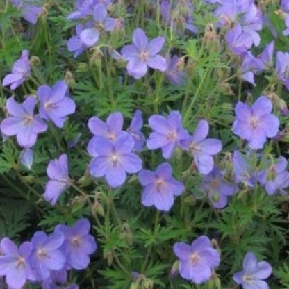 geranium-johnsons-blue-gólyaorr