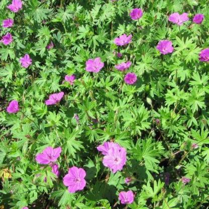 geranium-sanguineum-tiny-monster-piros-golyaorr