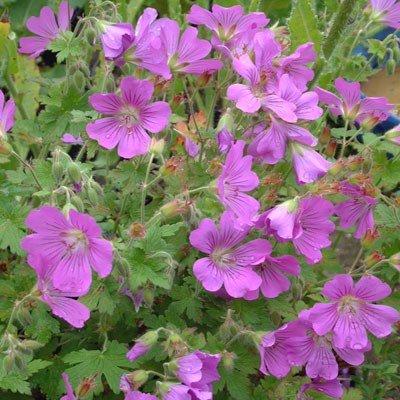 geranium-sirak-golyaorr