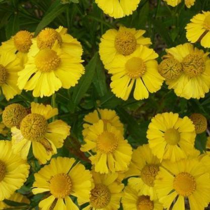 helenium-autumnale-helena-gold-oszi-napfenyvirag