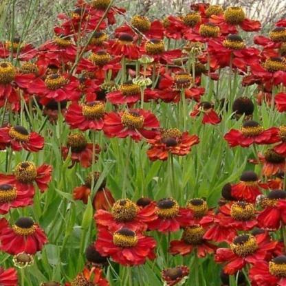 helenium-autumnale-helena-red-oszi-napfenyvirag2
