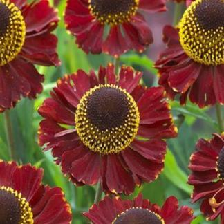 helenium-autumnale-ruby-tuesday-oszi-napfenyvirag