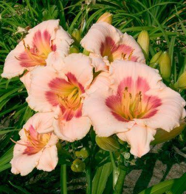 hemerocallis-blush-and-pink-eye-sasliliom